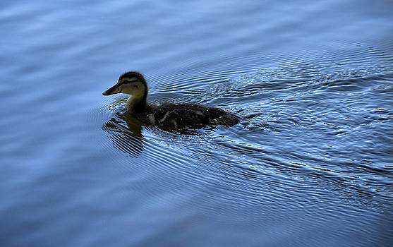 Duckling with Wake by Maria Keady
