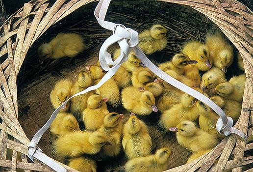 Michele Burgess - Ducklings in a Basket