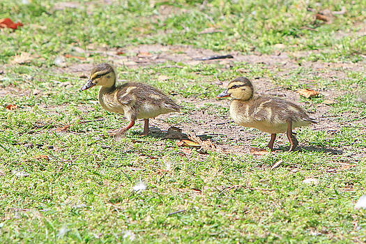 Ducklings on the Grass by Shoal Hollingsworth