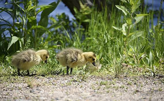 Ducklings by Richard Suder