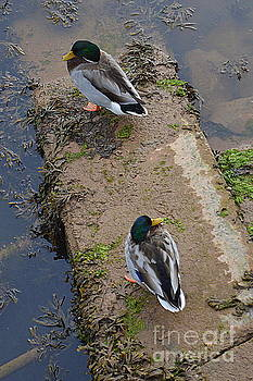 Ducks by Andy Thompson
