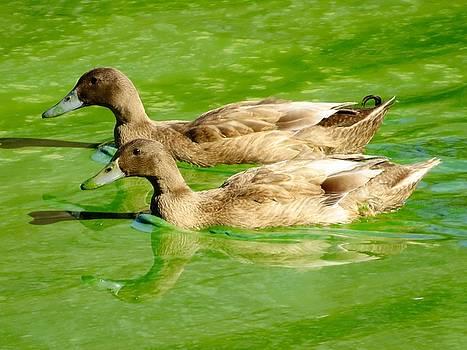 Ducks in Muck by Phil Bearce