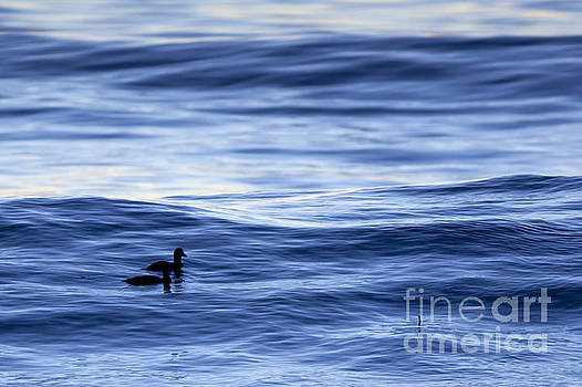 Ducks Riding a Wave by Sharon Foelz