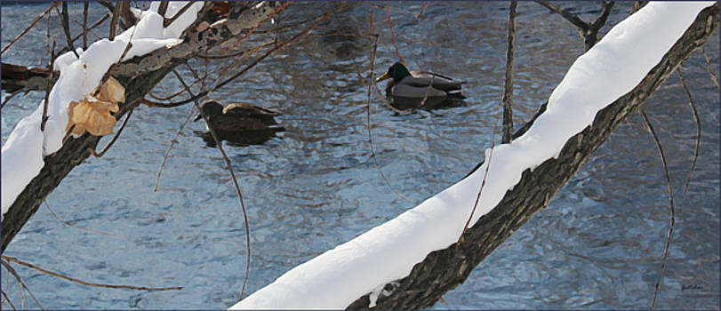 Ducks Swim Through Winter Water by Gretchen Wrede