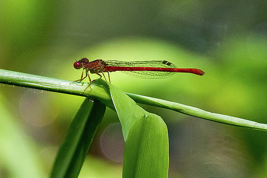 Duckweed Firetail Damselfly by Paul Rebmann