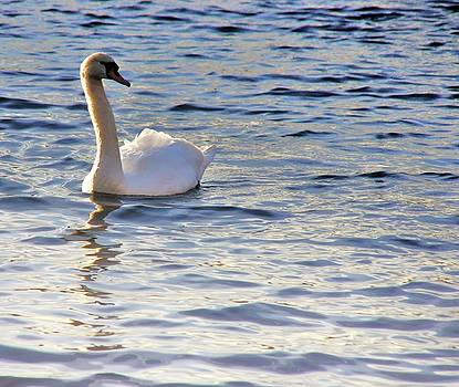 Duddingston Swan 1 by Nik Watt