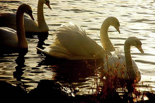 Duddingston Swan 12 by Nik Watt