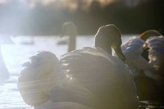 Duddingston Swan 14 by Nik Watt