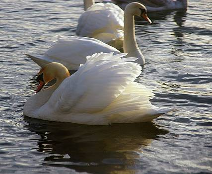 Duddingston Swan 15 by Nik Watt