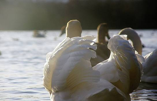 Duddingston Swan 16 by Nik Watt