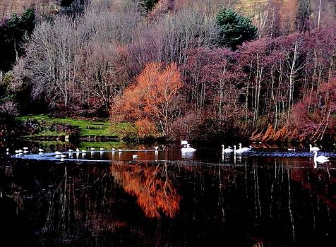 Duddingston Swan 17 by Nik Watt