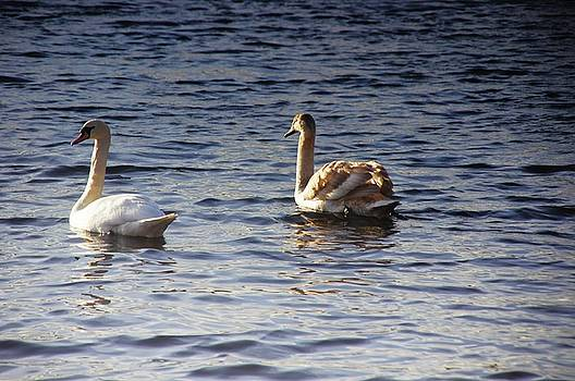 Duddingston Swan 2 by Nik Watt