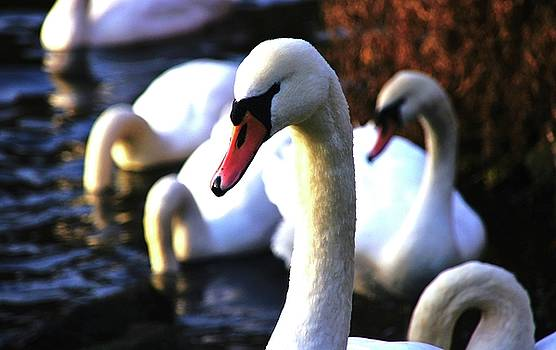 Duddingston Swan 5 by Nik Watt
