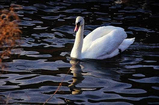 Duddingston Swan 6 by Nik Watt