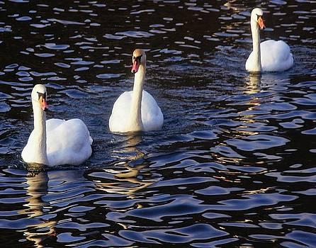 Duddingston Swan 8 by Nik Watt