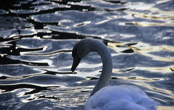Duddingston Swan 9 by Nik Watt