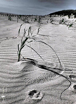 Dune Grass Sand Etching by Stephanie McGuire