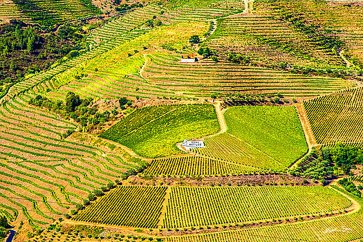 Duoro Valley Vineyard - Portugal by Madeline Ellis