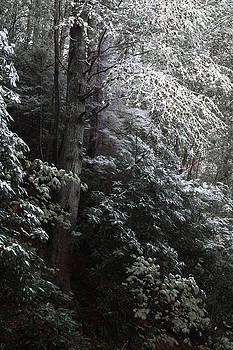 Dusting of snow on dark trees by Natalie Schorr