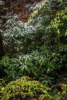 Dusting of snow on rhododendrons on hillside by Natalie Schorr