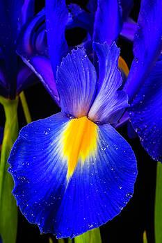 Dutch Blue Iris by Garry Gay