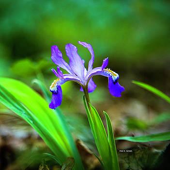 Dwarf Crested Iris by Dale R Carlson