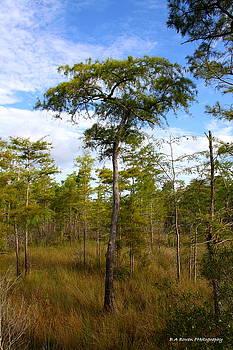 Barbara Bowen - Dwarf Cypress Tree