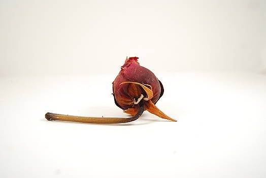 Dying Rose by Adam Brackbill