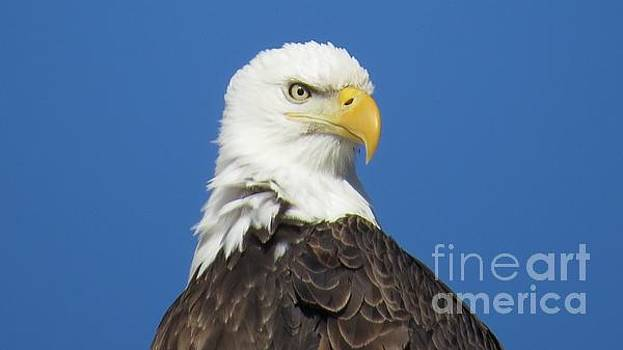 Eagle Attitude by Bonnie-Lou Ferris
