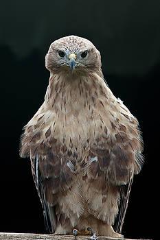 Eagle Barat by Jos Verhoeven