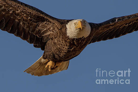 Eagle Close Up by Beth Sargent