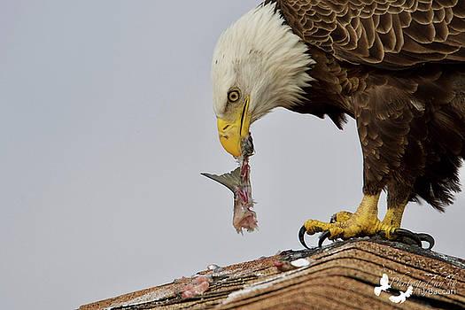 Eagle Eating 3 by TJ Baccari