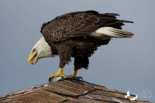 Eagle Eating by TJ Baccari