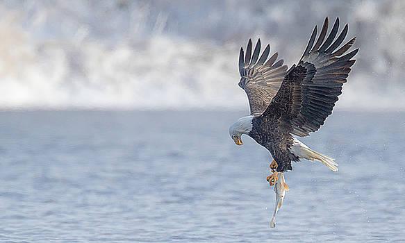 Eagle Fishing  by Kelly Marquardt