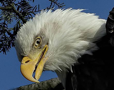 Eagle Head by Sheldon Bilsker