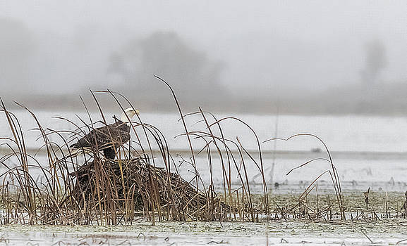 Eagle Hunts For Coots And Ducks by Kelly Marquardt