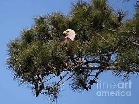 Paulette Thomas - Eagle in a tree