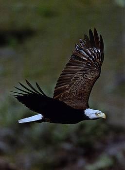 Diane Kurtz - Eagle in Flight