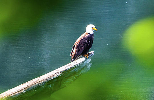 Eagle in Lake by CK Brown