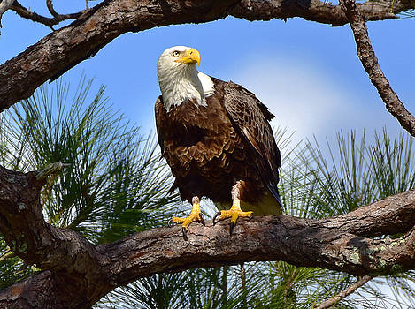 Eagle in the Pines by Jeffrey Hamilton