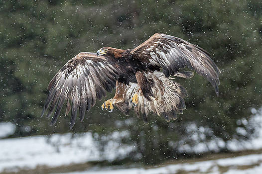 Eagle in the snow. by David Hare