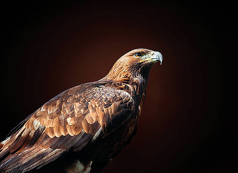 Eagle by Ivan Vukelic