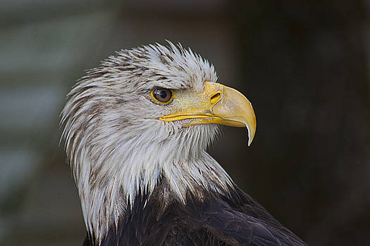Eagle by Mickael PLICHARD