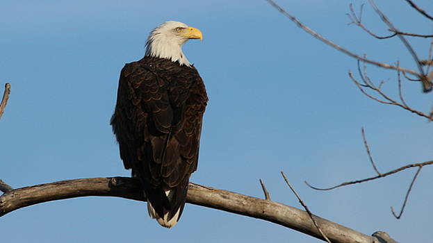 Eagle on Branch by Emily Spivy