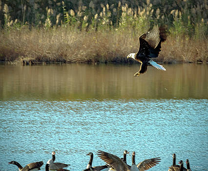 Bald Eagle Over Geese by Brian Wallace