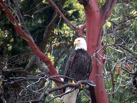 Eagle Perch by Wendy Brunell