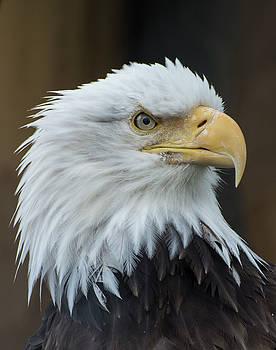 Eagle Portrait by Gary Lengyel