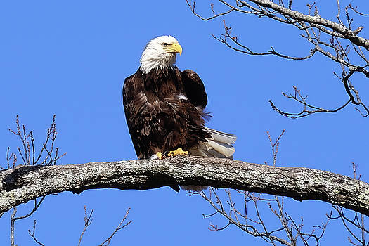 Eagle Ruffled Feathers  by TnBackroadsPhotos