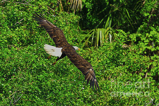Eagle Series Flight by Deborah Benoit