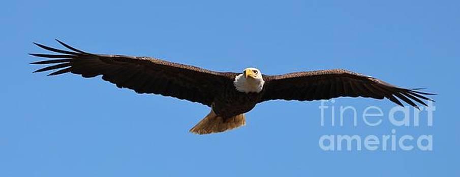 Paulette Thomas - Eagle Soaring